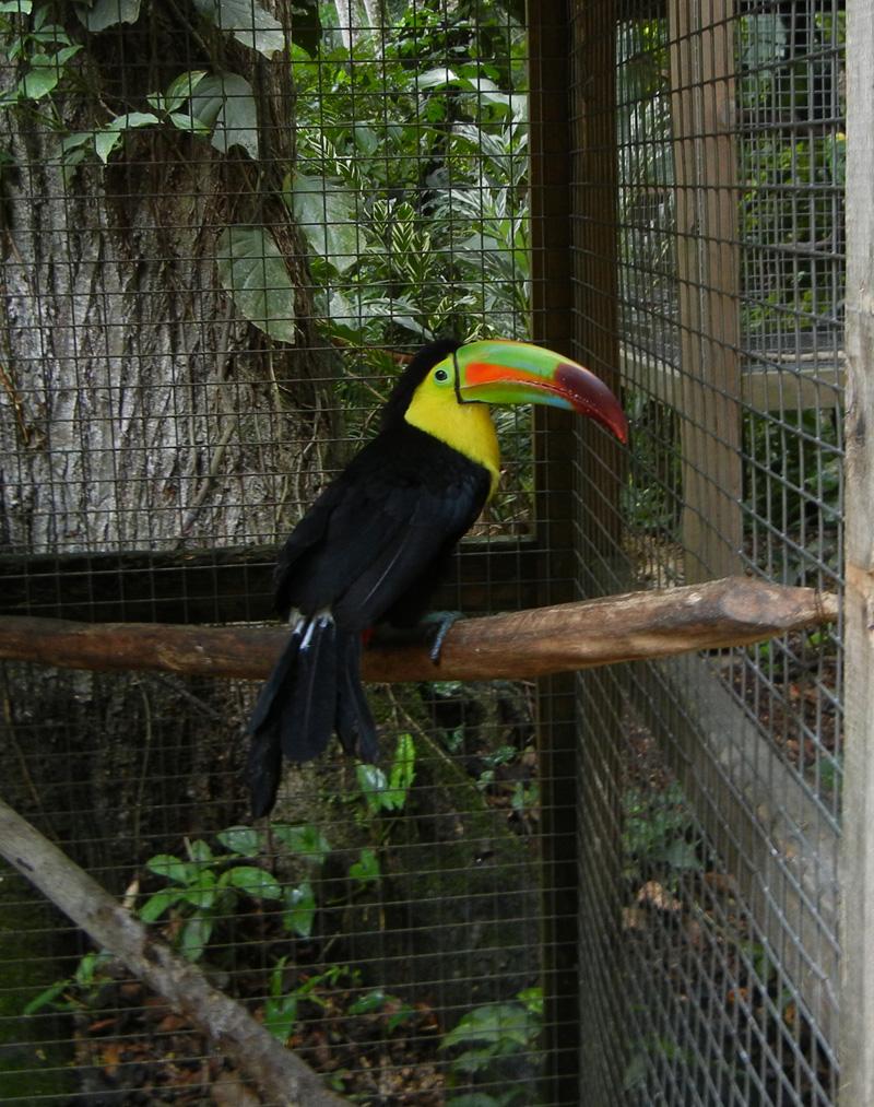 Toucan On Macaw Mountain